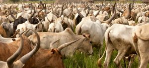 Huge herd of cattle moving in one direction
